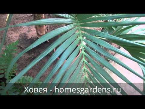 Ховея - изысканная домашняя пальма