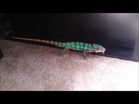 Panther Chameleon Running Around