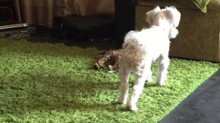 Bengal Kitten Beats Up A Tissue While Maltese Watches.