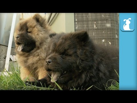 Chow Puppy Farts A Lot - Puppy Love