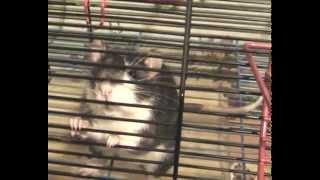 Крыса разговаривает и хрюкает