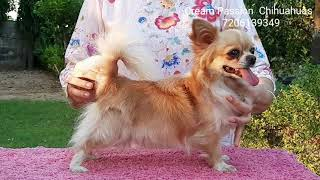 All About Chihuahuas || Cream Passion || Chihuahuas Breed | Chihuahuas Breed Information | Scoobers