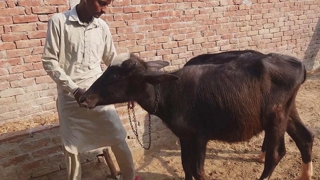 Itni sunder calf nilli Ravi ke ik Murrah jhoti ( sale