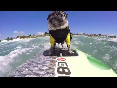 GoPro Brandy The Surfing Pug YouTube - Brandy the award winning surfing pug