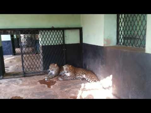 Gadag zoo cheeta