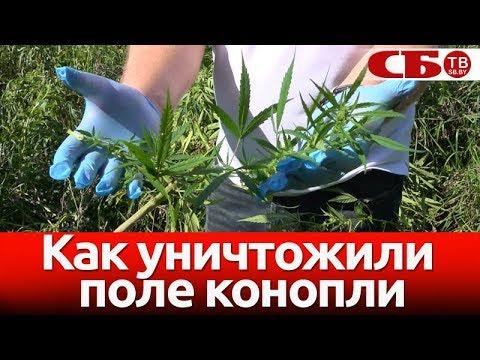 Смотреть видео поле конопли купить гидропонную установку для марихуаны