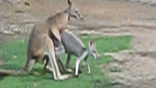 Kangaroos Mating Find more Places to stay on Vacation Rental Directory