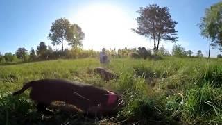 ➠ 360 🐶 Такса - Таксы на прогулке! Собаки (таксы) видео 360 градусов :))