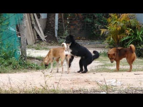 Cool Season In Rural Village! Tibetan Terrie Dog Vs Norwich Terrier Dog Request love on the street