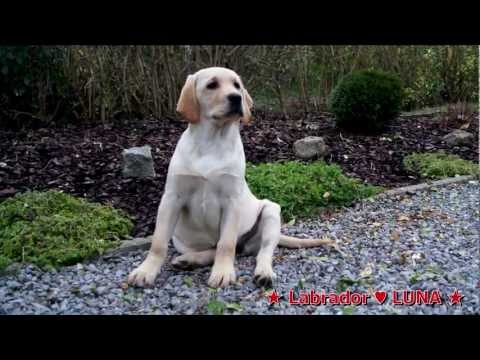 Chuck Nonoss,labrador dressage suite- labrador puppy do