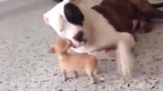 Жестокий собачий бой.