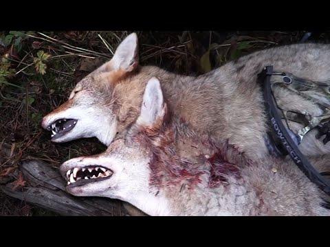 Bow hunting Coyotes – Double Kill!