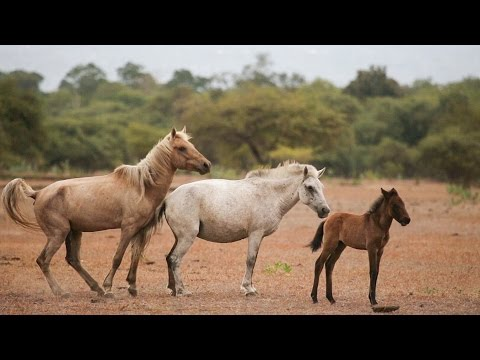 Thumbnail: Wild Horses and Buffaloes of Doro Ncanga, Sumbawa(HD)