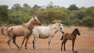 Repeat youtube video Wild Horses and Buffaloes of Doro Ncanga, Sumbawa(HD)