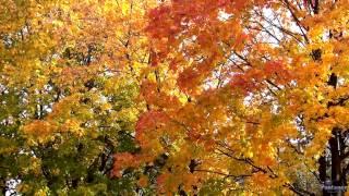 Скачать Золото осенних листьев 2013
