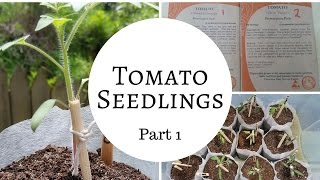 How to grow heirloom tomatoes from seed