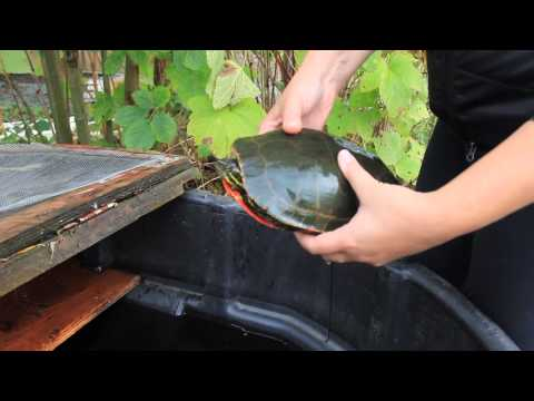 Western Painted Turtle Conservation Project
