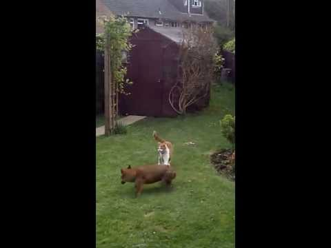 Cats Chase Cowardly Fox Out Of Their Yard (VIDEO)