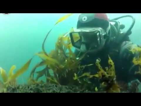 морская капуста в чёрном море
