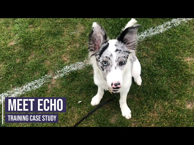 Improving the behaviour and focus of a young Border Collie