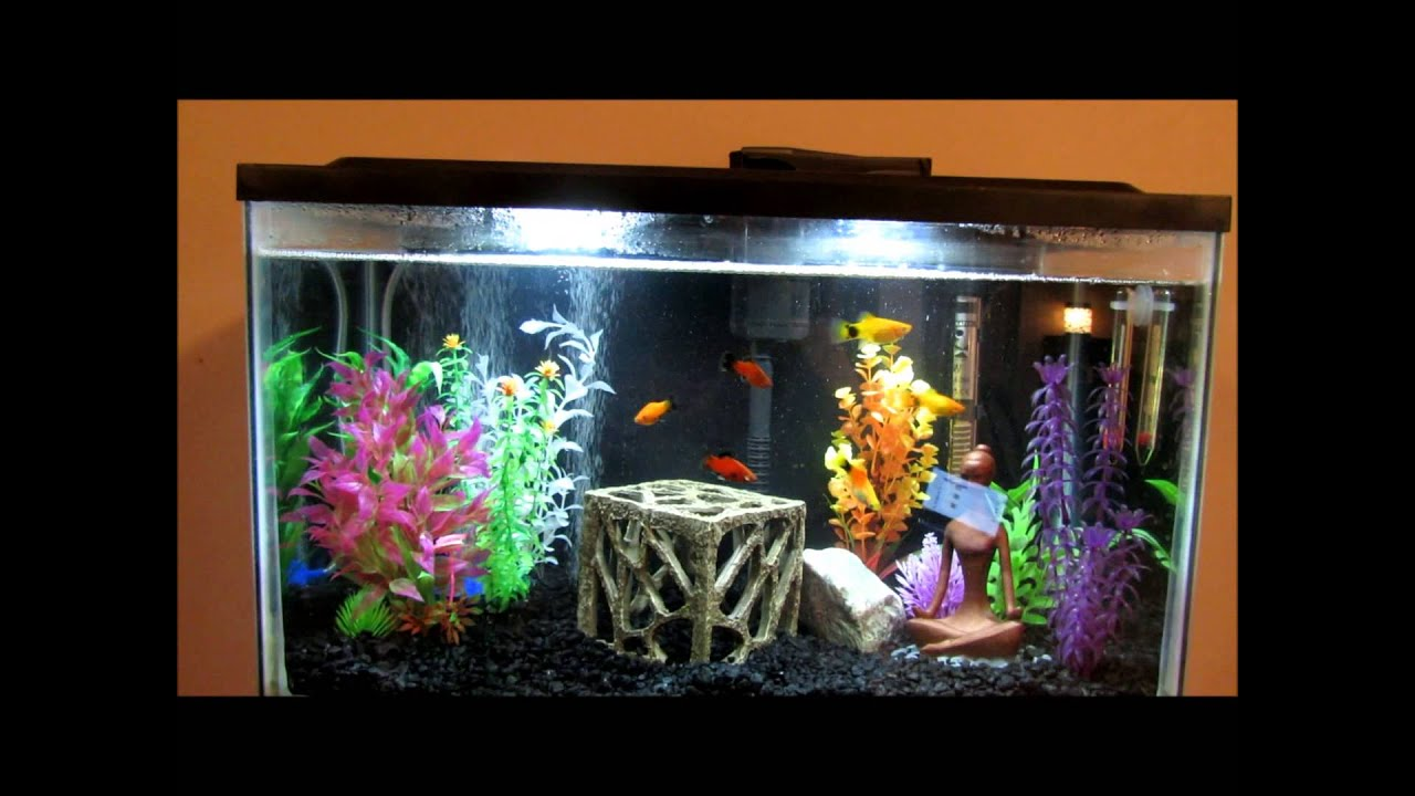 My 10 gallon tank set up with platies and 2 5 gallon betta for 10 gallon koi tank
