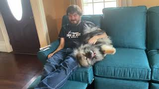 Sweet Keeshond Cuddles With Daddy On Couch