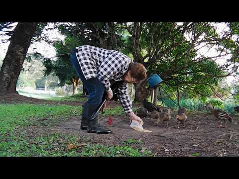 Видео: Backyard duck feeding