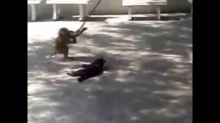 Видео прикол обезьяна играется с кошкой!!