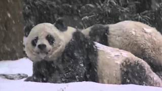 Реакция панды на перый снег в жизни  Смешное видео
