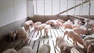 Video A Field Trip to Ohio Pig Farms and Farm Song download MP3, 3GP, MP4, WEBM, AVI, FLV November 2017