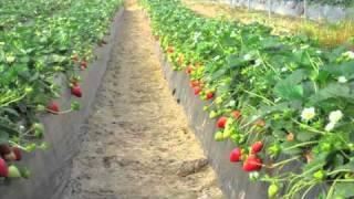Repeat youtube video Splendor - Fresa - Strawberry