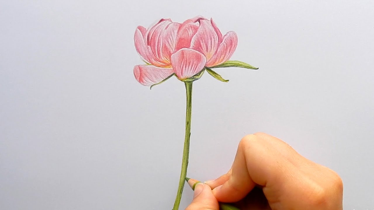 Timelapse drawing a pink peony roseflower with colored pencils timelapse drawing a pink peony roseflower with colored pencils emmy kalia mightylinksfo