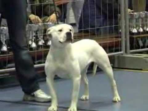 Caninedogproject American Bulldog Show Almere Part 2 Youtube