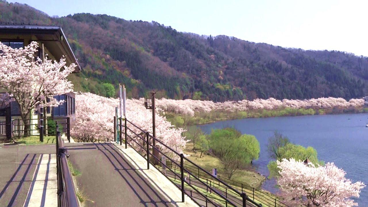 満開の桜6000本・土師ダム・八千...