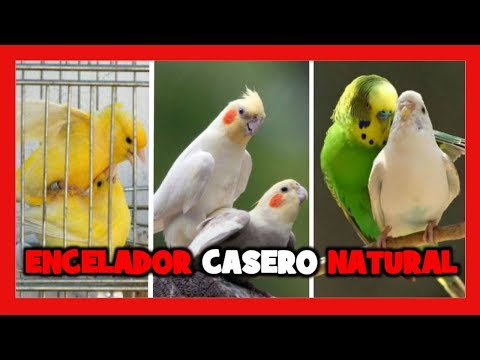 COMO ENCELAR A LOS CANARIOS | ENCELADOR CASERO PARA PAJAROS