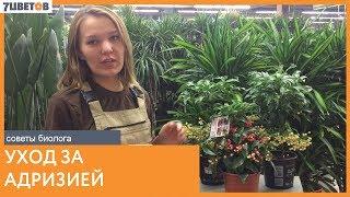 видео Ардизия городчатая – уход в домашних условиях, выращивание, фото комнатного растения
