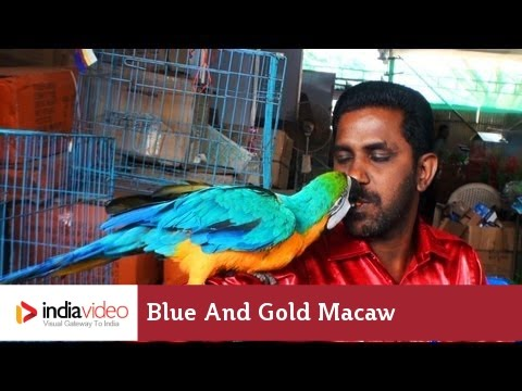 Blue and Gold Macaw | India Video