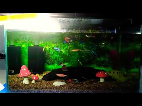 Guppy, Black Berlin Swordtail Fish \u0026 Zebrafish