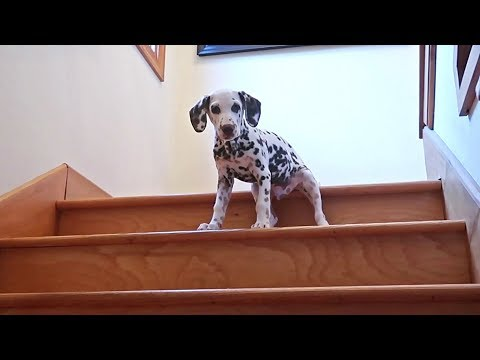 Dalmatian Puppy Tries Stairs For First Time