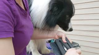 Trimming front feet on your border collie
