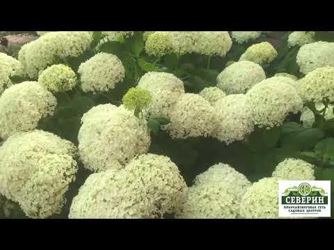Вопрос: Каких цветов бывают сорта гортензии?
