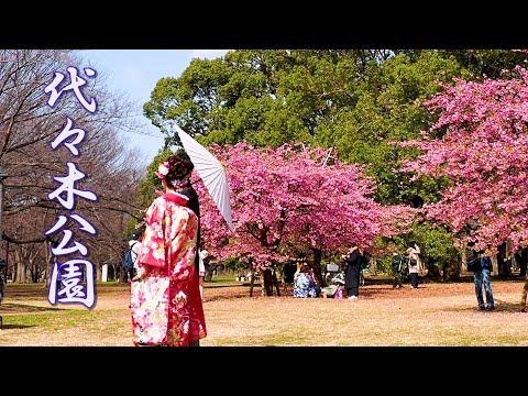【Cherry blossoms】TOKYO. Yoyogi Park  #4K #代々木公園 #河津桜