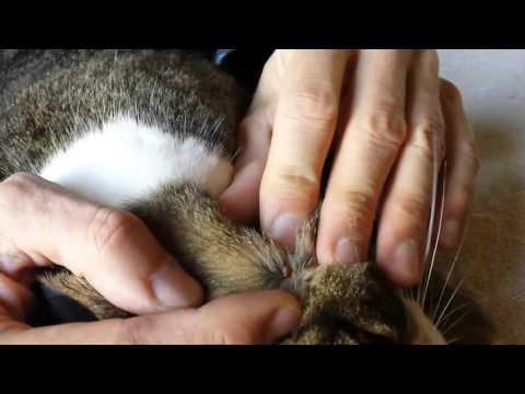 How to remove a tick parasite to the cat - Come rimuovere una zecca al gatto