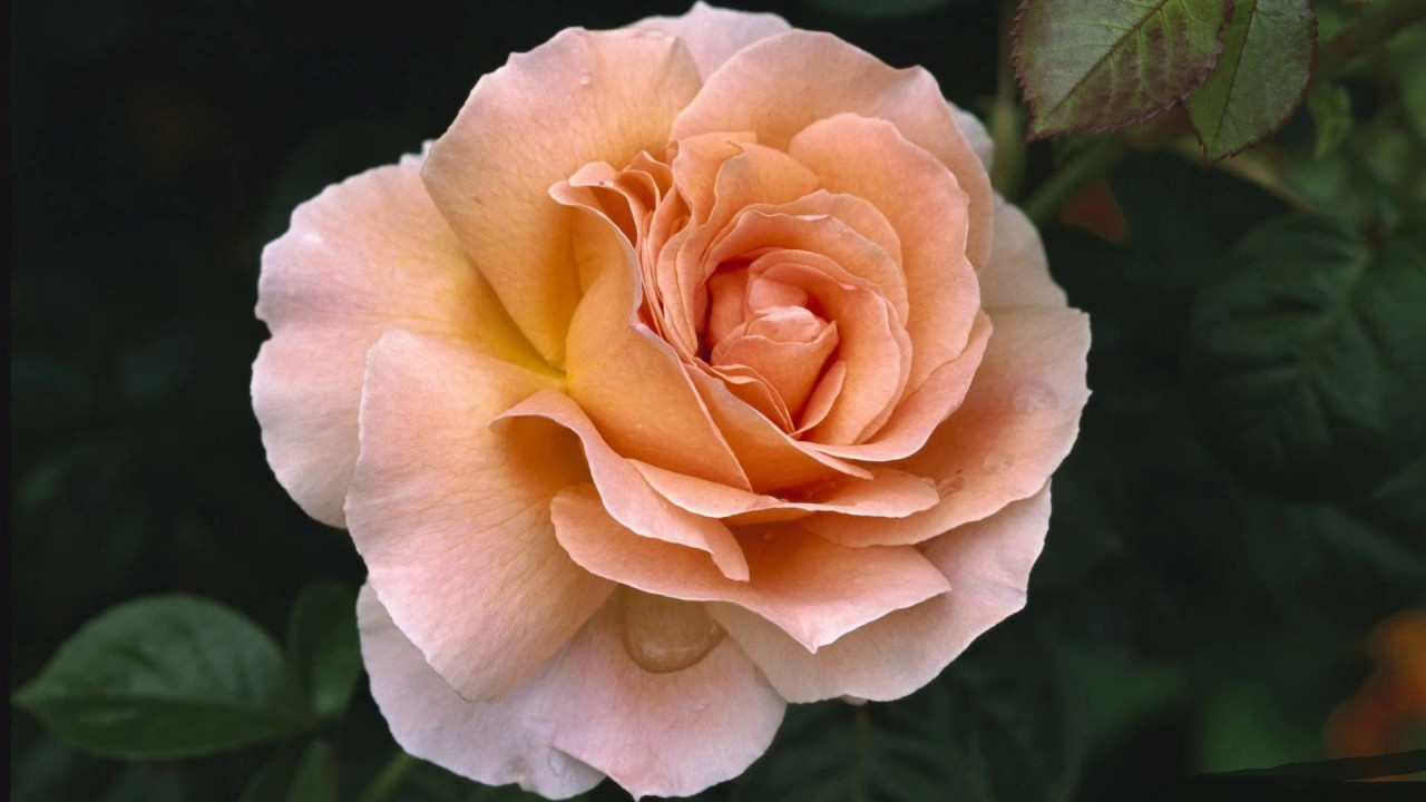 Las Mejores Imágenes De Rosas Del Mundo Dj Kikito Youtube