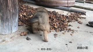 土狗怎么了,农村这两只狗狗的日常,心都萌化了.