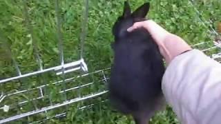 Драка кроликов при подселении. Карликовые кролики. Установление лидерства.Кролиководство.