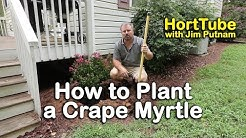 How to Plant a Crape Myrtle (Planting Root Bound Trees)