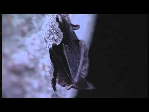 pipistrelli tranne nottole