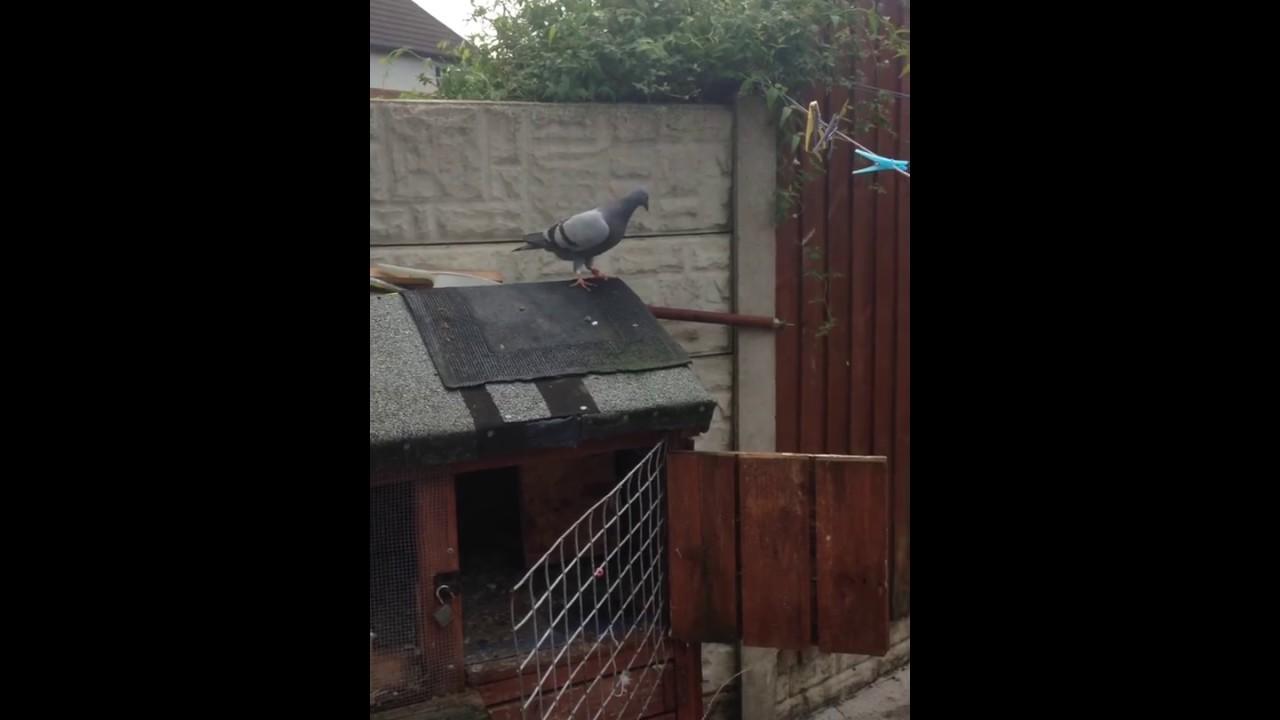 fastest sprinter racing pigeons youtube