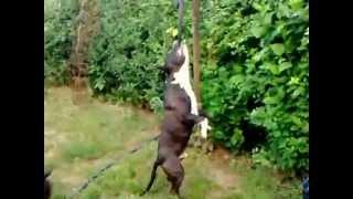 American Staffordshire Terrier - Our Boy Ch Cimaron Long Step, Jordan Staff Kennel , Training
